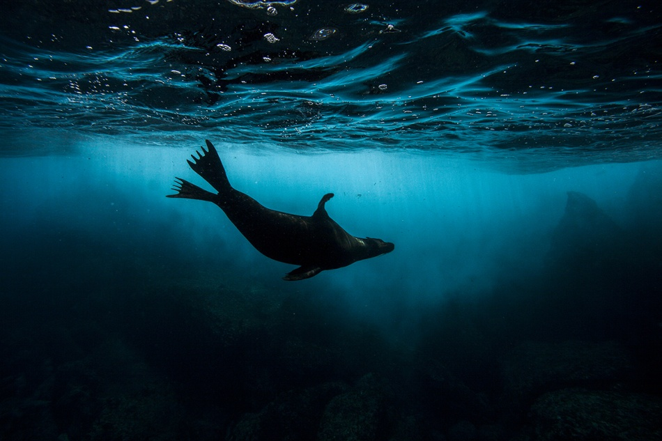 A sea lion of the Galapagos Islands.