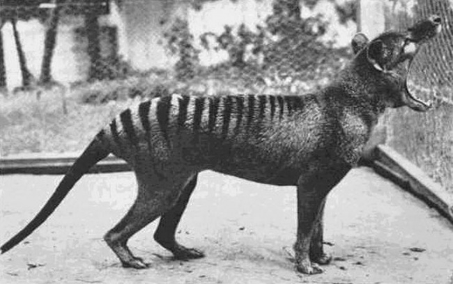 the-last-photo-ever-taken-of-a-thylacine-1933-this-species-is-now-extinct